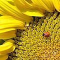 Sunflower And Ladybug by Aleksandar Mijatovic