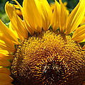 Sunflower And Two Bees by Christiane Schulze Art And Photography