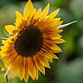 Sunflower by Andreas Levi
