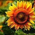 Sunflower At Buttonwood Farm by Mike Martin