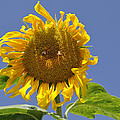 Sunflower At Latrun by Dubi Roman