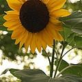 Sunflower Backlighting by Anna Lisa Yoder