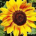 Sunflower Beauty by Deborah Fay