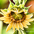 Sunflower Beauty - Painterly by TN Fairey
