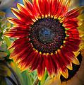 Sunflower Beauty by Robert Bales