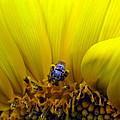 Sunflower Bee by Matt Blankenship