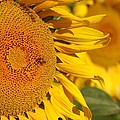 Sunflower Bee by Michael Thomas
