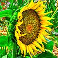Sunflower Bloom by Greg Joens