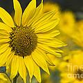 Sunflower Blossom by Heiko Koehrer-Wagner