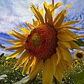 Sunflower Blue by Debra and Dave Vanderlaan