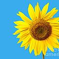 Sunflower Blue Sky by Edward Fielding