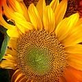 Sunflower Bright by Susan Garren