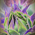 Sunflower Bud Abstract by Christiane Schulze Art And Photography
