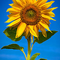 Sunflower by Carsten Reisinger