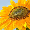 Sunflower by Cathy Mahnke