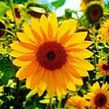 Sunflower Centered by Daniel Thompson