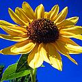 Sunflower by Charlene Gauld