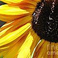Sunflower by Cheryl Baxter