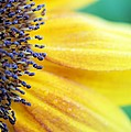 Sunflower Close Up by FL collection