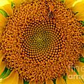Sunflower Close-up by Karen Adams