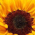 Sunflower Closeup by JG Thompson