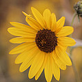 Sunflower Closeup by Vishwanath Bhat