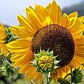 Sunflower by Dan McManus