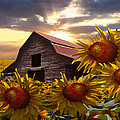 Sunflower Dance by Debra and Dave Vanderlaan