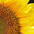 Sunflower by David Cutts