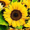 Sunflower by David Kay