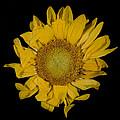 Sunflower by David Stone