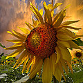 Sunflower Dawn by Debra and Dave Vanderlaan