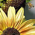Sunflower Delight by AJ  Schibig