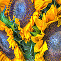Sunflower Delight by Heidi Smith