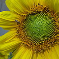 Sunflower Dew-bee by Matt Blankenship