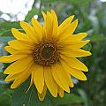 Sunflower Directly... by Rob Luzier