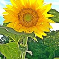 Sunflower Dreams by Sara  Raber