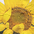 Sunflower Drying Up by Melvin Busch
