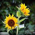 Sunflower Duo by Nancy Mueller