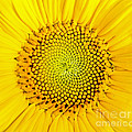 Sunflower  by Edward Fielding