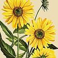 Sunflower by English School