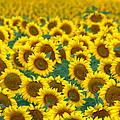 Sunflower Explosion by Ronda Kimbrow