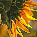 Sunflower Farm 1 by Kathleen K Parker