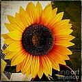Sunflower by Fei A
