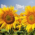 Sunflower Field And Blue Sky by Daniel Barbalata