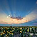 Sunflower Field At Sunset by Jim Garrison