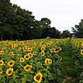 Sunflower Field by Bill Cannon