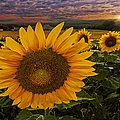 Sunflower Field Forever by Susan Candelario