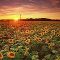 Sunflower Field In Sunset by Tu Xa Ha Noi