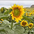 Sunflower Field by Jill Courtney